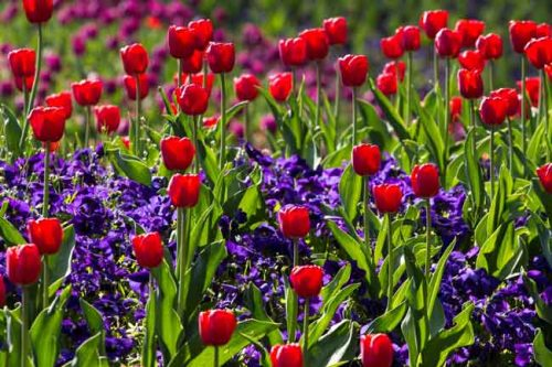 Red tulips - spring border ideas from the Weatherstaff PlantingPlanner