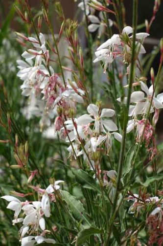 Gaura Whirling Butterflies for summer containers.