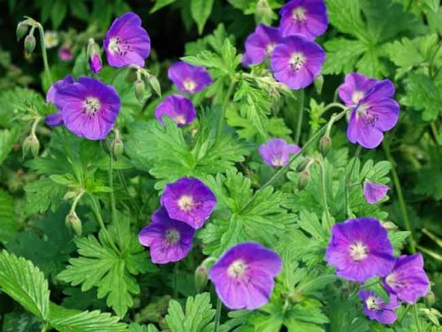 Geranium himalayense 'Gravetye' - ideas for summer flowering pots