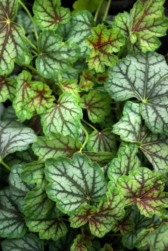 Heuchera Green Spice - a great container plant choice