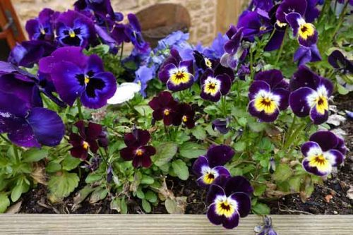 Spring pansies in harmonising colours from Weatherstaff garden design software