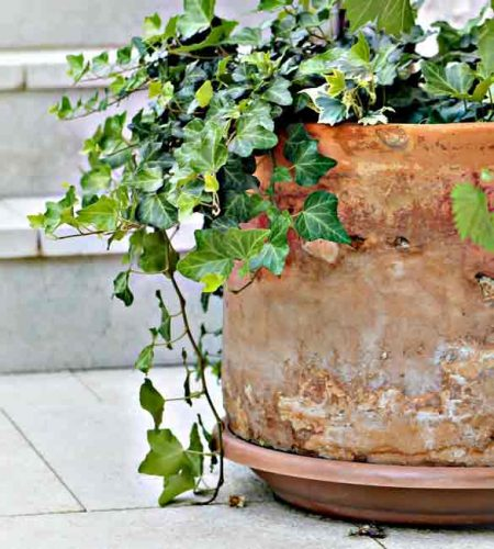 Trailing ivy - a spiller plant for containers