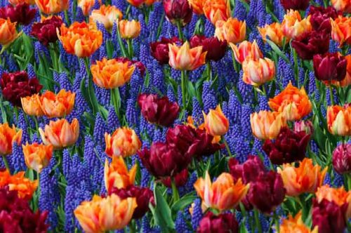 Tulips and grape hyacinths in a vibrant planting combination from Weatherstaff garden design software