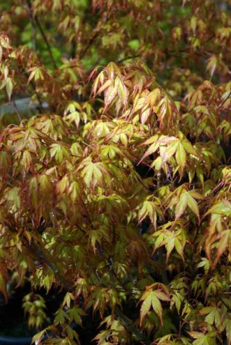 Acer palmatum Katsura from Weatherstaff garden design software