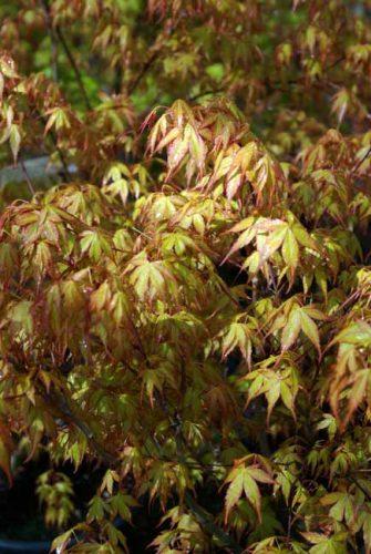 Acer palmatum Katsura from Weatherstaff garden design software