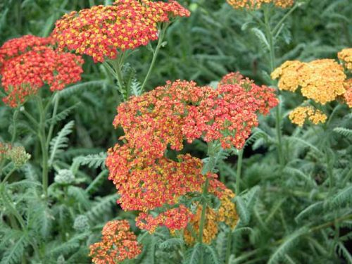 Achillea Walther Funcke - container plant from Weatherstaff Planting Planner