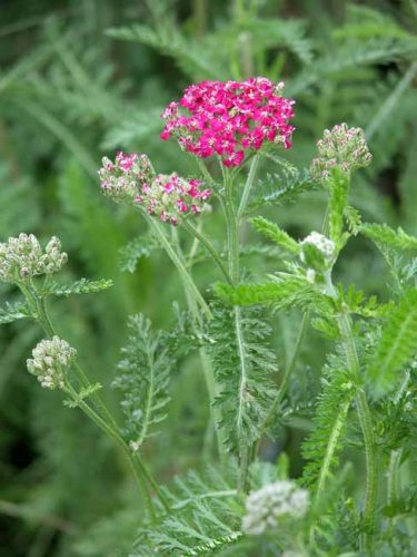 Achillea millefolium Cassis - great plant choice for container gardening