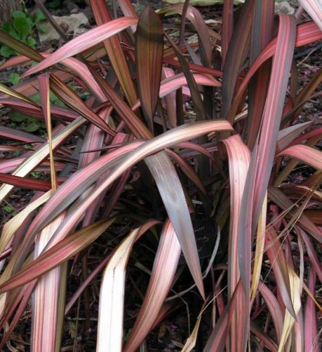 Phormium Evening Glow - container plants from Weatherstaff garden design software