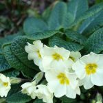 Primroses (Primula vulgaris) in an early spring border