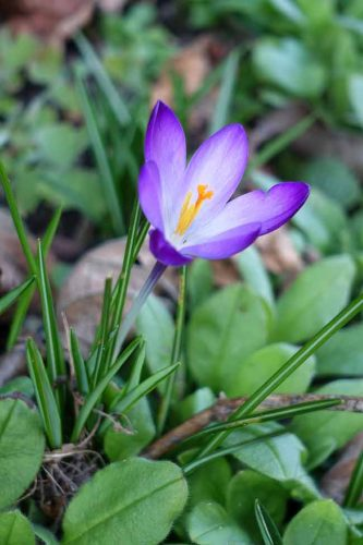 Purple crocus in early spring Weatherstaff garden design blog