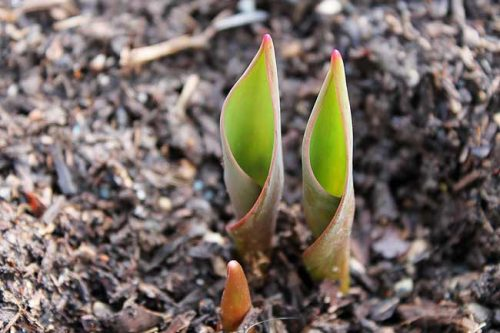 Tulip leaves emerge in spring garden beds