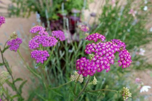 Achillea millefolium 'Cerise Queen' - ideas for summer flower beds,from the Weatherstaff PlantingPlanner