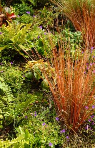 Bronze Carex comans - grass for containers and vertical plantings