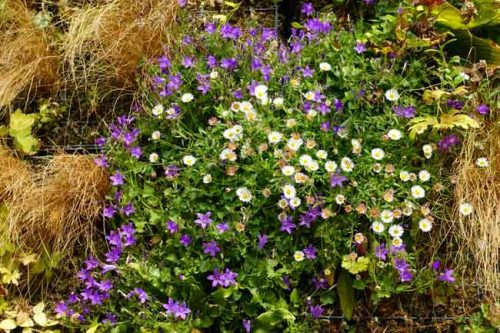 Campanula portenschlagiana and Erigeron karvinskianus - planting ideas for living walls