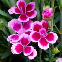 Dianthus for garden pots - from the Weatherstaff blog
