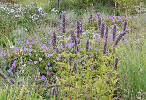 Blue perennials at Lascaux