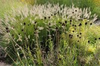 Pennisetum and seedheads