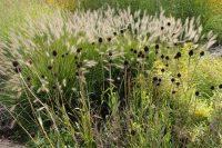 Pennisetum and seedheads