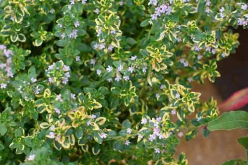 Lemon-scented thyme - herbs for summer containers, Weatherstaff garden design software