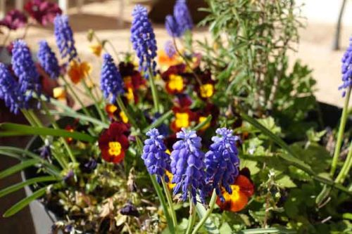 Muscari armeniacum for spring containers from Weatherstaff garden design software