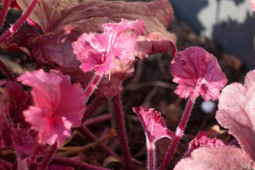 New pink leaves on the heuchera - container planting in spring. Weatherstaff PlantingPlanner