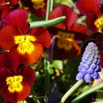 Pansies and grape  hyacinths - spring flowers for container planting. Weatherstaff garden design software