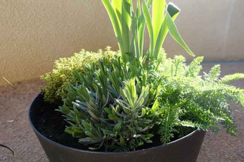 Pot 3 - lavender, iris, geranium sanguine, Achillea millefolium and lemon thyme - container planting ideas from Weatherstaff