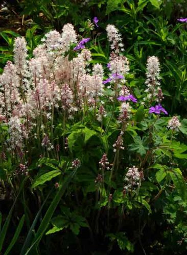 Tiarella Iron Butterfly - a shade-loving perennial for gardens and containers