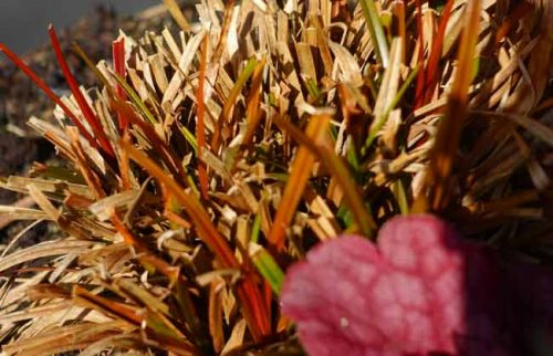 New growth on the uncinia rubra -grasses for container gardening by Weatherstaff