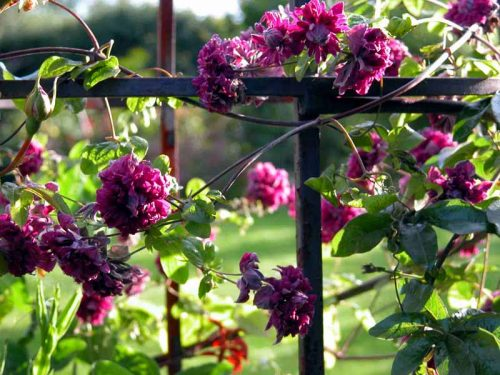 Clematis on iron arch