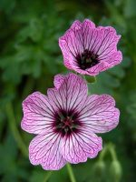Geranium cinereum Ballerina - ideas for container plantings from Weatherstaff garden design