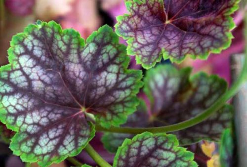 Heuchera Beauty Colour - foliage plant for container planting from Weatherstaff blog