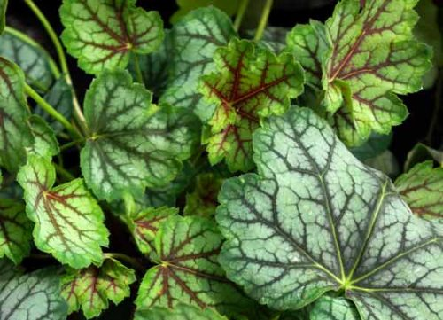 Heuchera Green Spice - container planting ideas from Weatherstaff PlantingPlanner