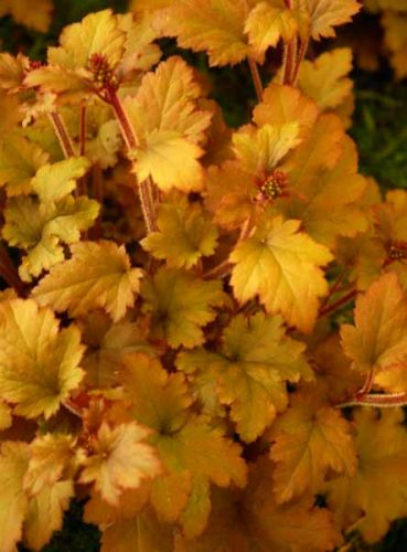 Heuchera Marmalade - container filler plant idea