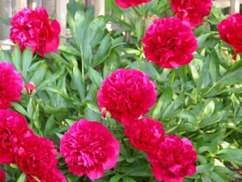 Red peony - herbaceous perennial
