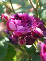 Rosa Cardinal de Richlieu - romantic garden