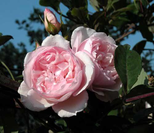 Roses in a romantic garden. Weatherstaff PlantingPlanner