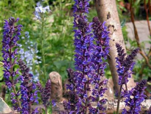 Salvia x sylvestris Mainacht - from Weatherstaff blog