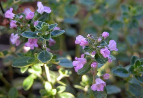 Thymus x citriodorus - herbs for container plantings
