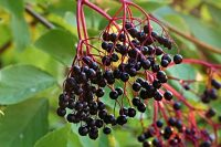 Elderberries on Sambucus tree