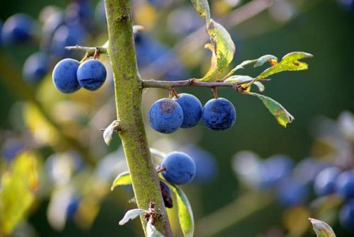 Sloes on blackthorn tree