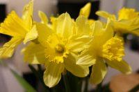 Yellow Tete-a-Tete Daffodils
