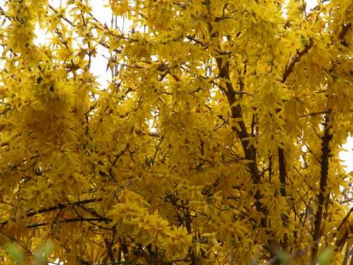 Forsythia intermedia 'Spectabilis' - yellow flowering spring shrub