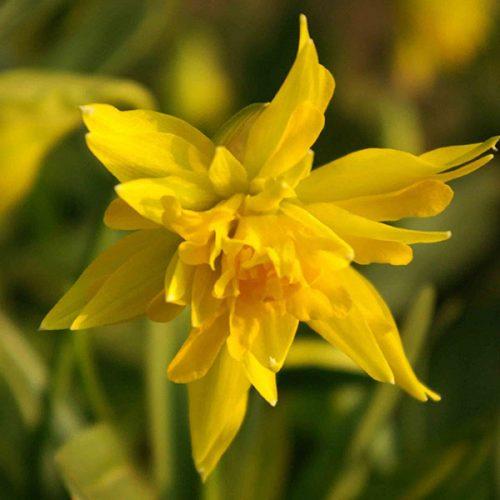 Narcissus Rip van Winkle - double flowerhead