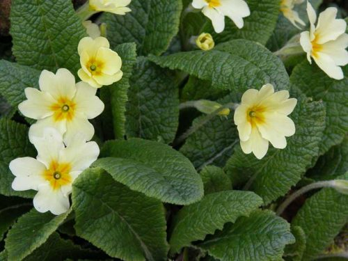 Close-up of native primroses