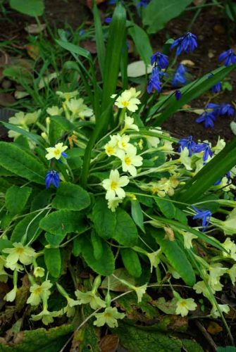 Native primroses with scilla
