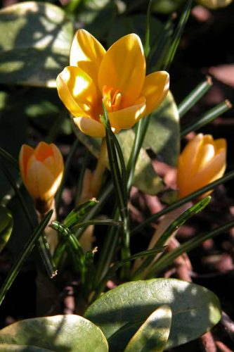 Crocus 'Romance' in dappled sunlight