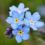Cluster of forget me not flowers