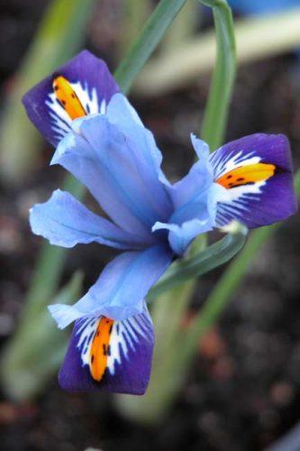 Pale blue iris Cantab
