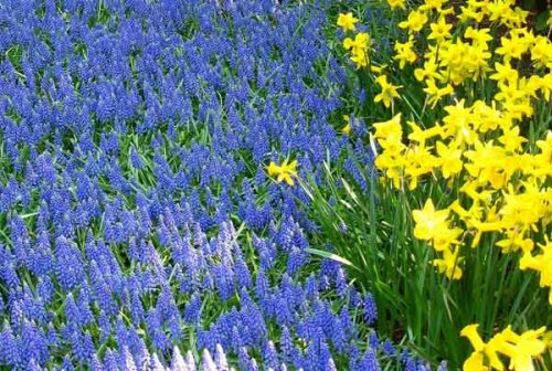 Mass planting of daffodils and muscari